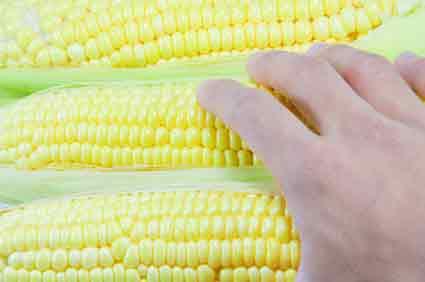 New Jersey Corn