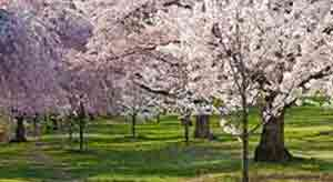 Newark Cherry Blossoms