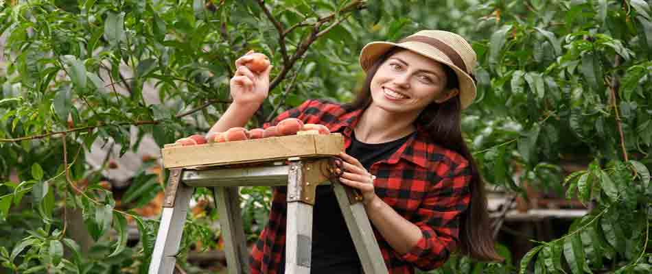 Peach Picking in New Jersey
